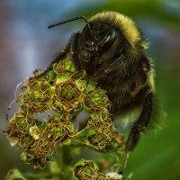 пчела мая :: Андрей Выровой