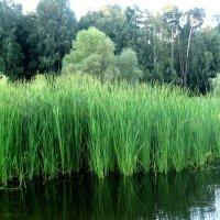 Водоросли на озере :: Елена Семигина