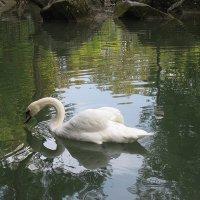«Белый Лебедь На Пруду» :: Елена Павлова (Смолова)