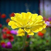 Желтая циния :: Андрей Заломленков