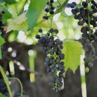 Вино на ветке :: Роман Сазонов