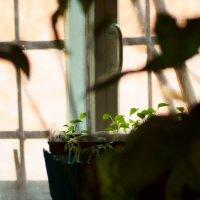 цветы на окне... :: Анастасия Калачева