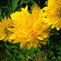 Желтые цветы :: Александр Коробко