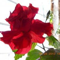 Моя роза :: Любовь Крымова