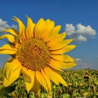 Цветок солнца :: Нилла Шарафан