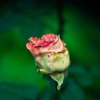 Роза :: Евгений Болтенков