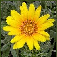 Солнечный цветок :: Евгений Печенин