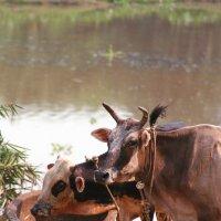 Коровки в далекой деревне Индии :: Andrey Ponkratov