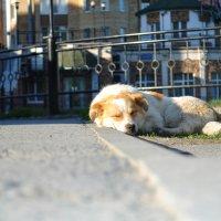 Спящий пес :: Елена Козак