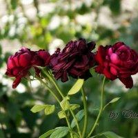 цветы жизни :: Роман Титаренко