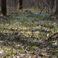 Подснежники в лесу :: Роман Снегов