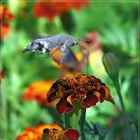 Любитель нектара... :: Андрей Медведев