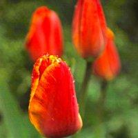 Тюльпаны :: Татьяна Хлудеева
