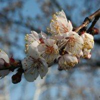 Цветение садов :: Елена Корольская