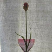 Тюльпан :: Маера Урусова