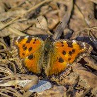 весенняя  бабочка :: Павел Данилевский