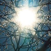 Солнце в вербе :: Вера Азсоль