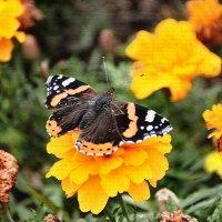 Бабочка :: Сергей Дячкин