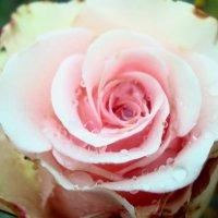 rose :: Ксения Никитина