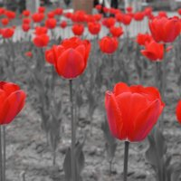 tulips :: Vana Harutyunyan