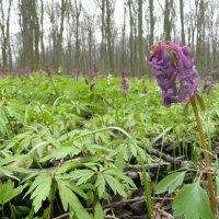 весна прекрасна,- лес дышит жизнью... :: Надежда Масливец