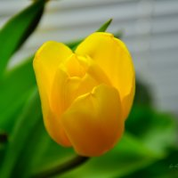 Тюльпан :: Анастасия Светлова