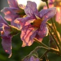 картошки цвет :: Ekaterina K