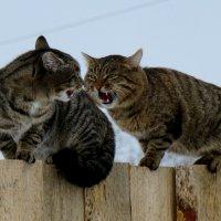 Мартовские коты :: Валерий Павлов