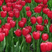 Тюльпаны :: Валентин Яруллин