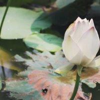 цветение лотосов :: MiraMoto .