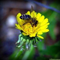 Пчелко :: Андрей Заломленков