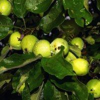 Скоро будут яблоки...! :: Ирина Шарапова