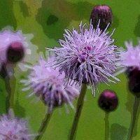 Сорные растения. Бодяк щетинистый. :: Наталья Лунева