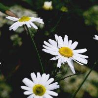 Ох, уж эти ромашки…! :: kolin marsh