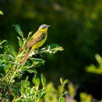 Птичка-невеличка. Жёлтая трясогузка. :: Юрий Харченко