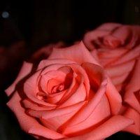 Розы :: Ирина Барышева