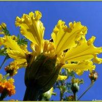 Бархатцы желтые :: Андрей Заломленков
