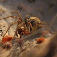 Воронковый паук :: Олег Бурлака