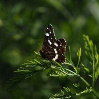 Бабочка :: Андрей Зайцев