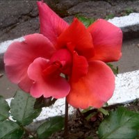 Изысканная красота :: Нина Корешкова