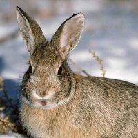 Зимний заяц :: Дед Мазай