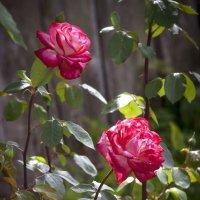 Розы тётиного сада :: Евгений Лимонтов