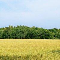 Поле пшеничное... :: Валерия Комова