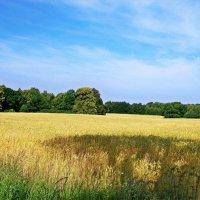Пшеница... :: Валерия Комова