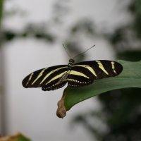 Полосатая бабочка :: Natalia Harries