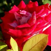 Роза в июле... :: Тамара (st.tamara)