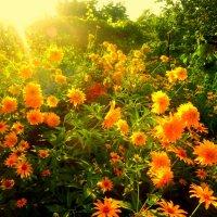 ..оранжевое лето... :: неля  тулузова