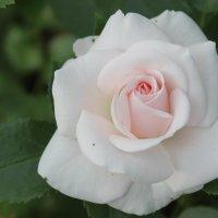белая роза :: Наталья Березко