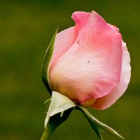 Розовая нежность :: Светлана Игнатьева