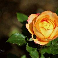 королева цветов :: Tatyana Belova